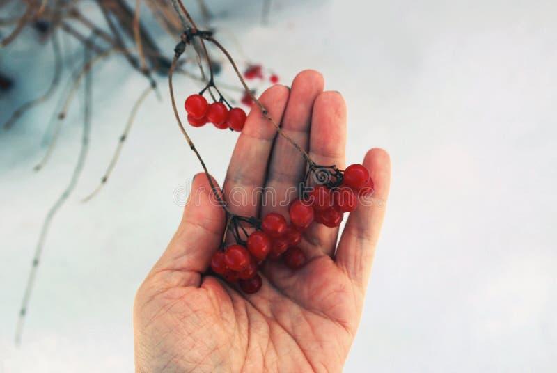 Closeupen av en hand som rymmer röda bär, samla i en klunga av rönnen stock illustrationer