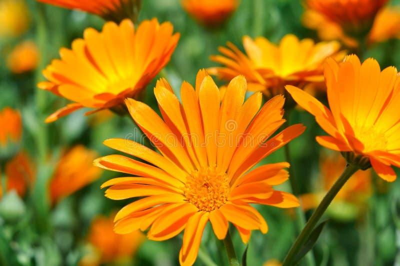 Closeupen av en medicinsk ringblomma blommar (Calendulaofficinalis) royaltyfria foton