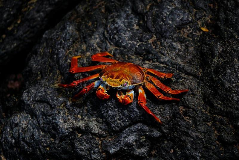 Closeupen av en röd krabba med rosa ögon som vilar på, vaggar royaltyfri foto