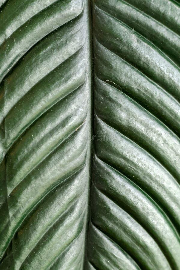Closeupen av ett blad för tropisk växt, grön textur och modellen specificerar, abstrakt vertikal bakgrund fotografering för bildbyråer