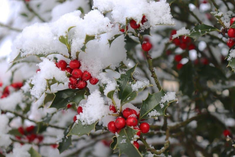 Closeupen av härliga röda bär för järnek och skarpa sidor på ett träd i kall vinter rider ut suddighet bakgrund arkivbild