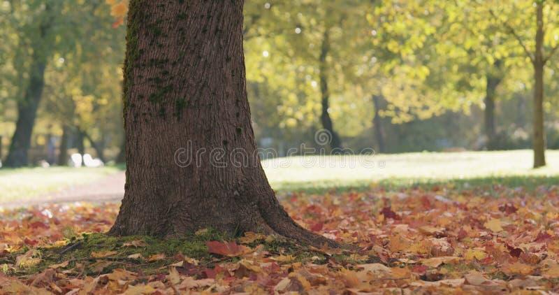 Closeupen av lönnträdstammen i höststad parkerar royaltyfri bild