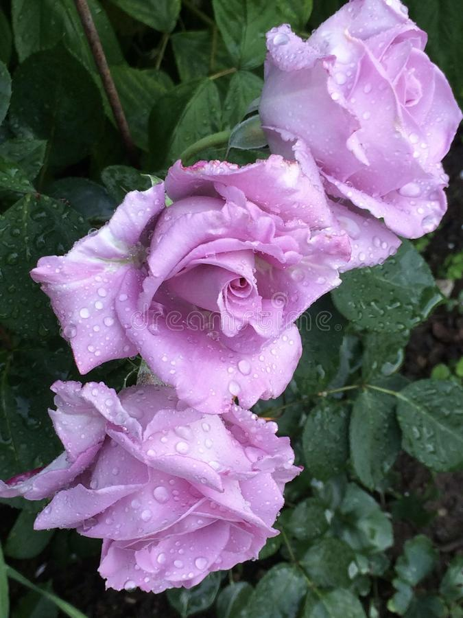 Closeupen av lavendel tre steg blommor med regndroppar arkivfoto