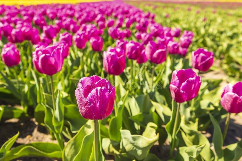 Closeupen av rosa tulpan i holländska tulpan sätter in blomsterrabatten under a royaltyfri bild