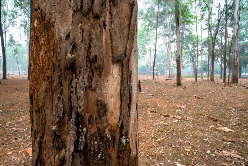 Closeupen av sörjer trädstammen med detaljerad yttersida i mitt av sörjer trädskogen royaltyfria foton