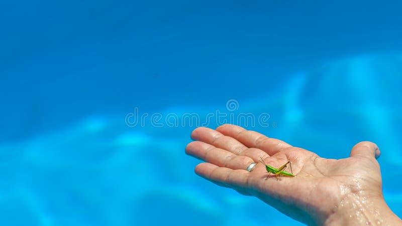 Closeupen av små gröna gräshoppa- eller grigplatser på mitt åldrades kvinnans hand i pölen på suddig bakgrund för blått vatten arkivfoto