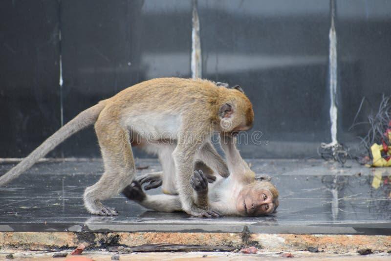 Closeupen av två som slåss och spelar, härmar i Hua Hin, Thailand arkivfoton
