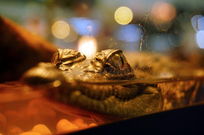 Closeupen behandla som ett barn krokodilen royaltyfri bild