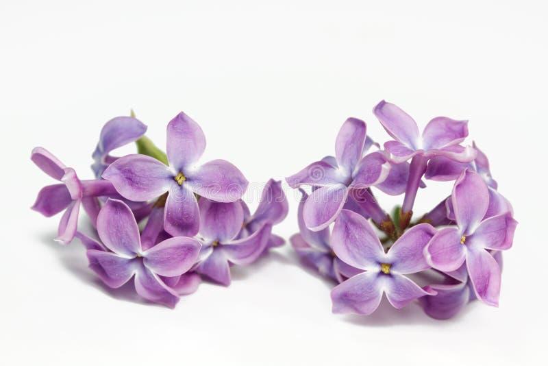 closeupen blommar lilan royaltyfri foto