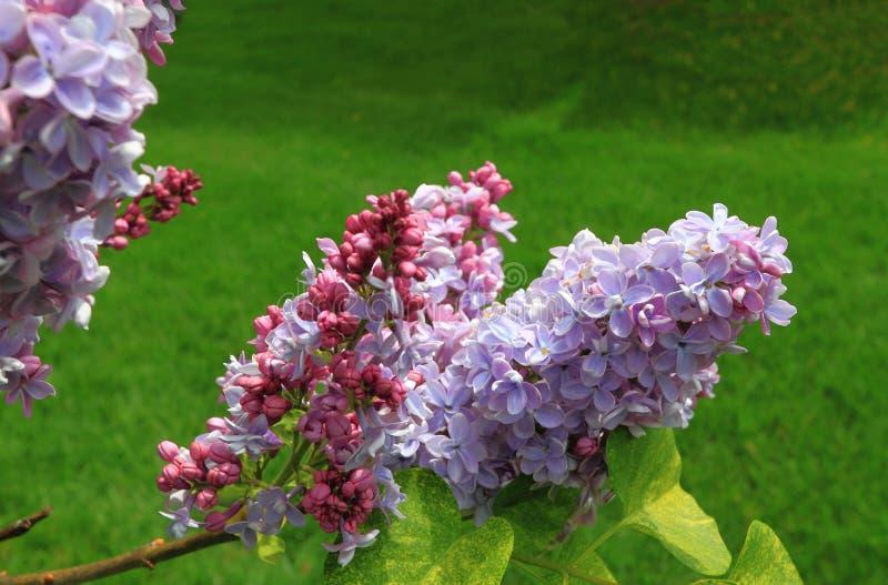 closeupen blommar lilan royaltyfri bild