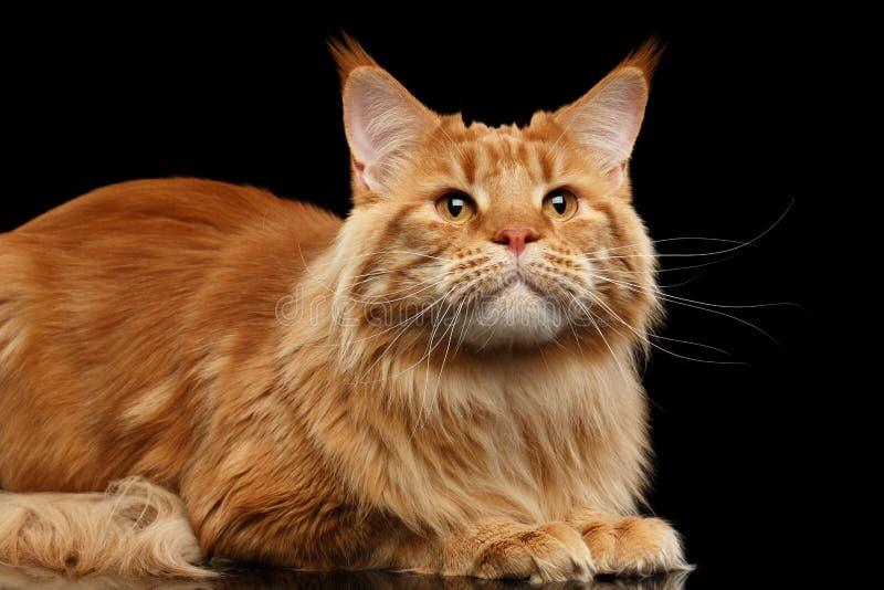Closeupen Ginger Maine Coon Cat Lying som ser upp, isolerade svart fotografering för bildbyråer