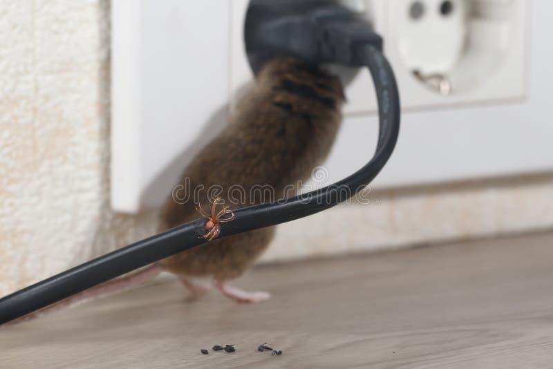 Closeupen gnagd tråd på bakgrunden av musen klättrar in i uttag royaltyfria foton