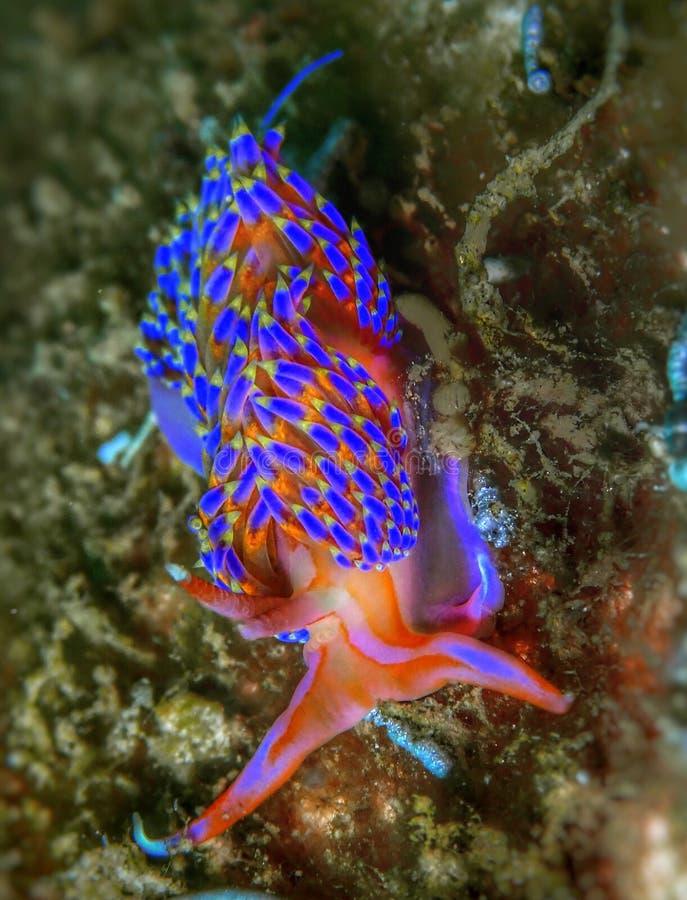 Closeupen och makroen sköt av färg Godiva för nudibranch fyra under en fritiddyk i Tunku Abdul Rahman Park, Kota Kinabalu Sabah arkivfoton