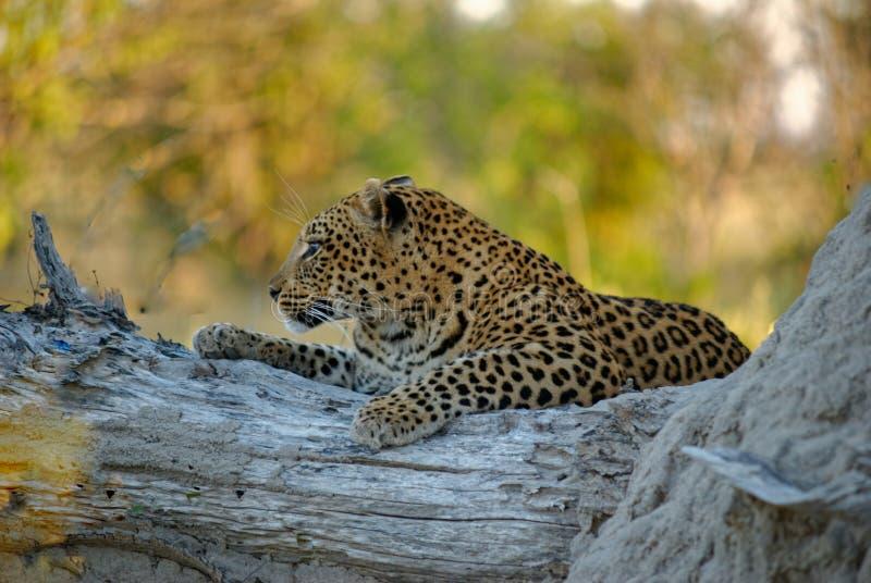 Closeupen sköt av en leopard som sitter på ett träd med suddig bakgrund royaltyfria bilder