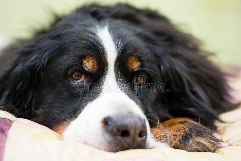 Closeupen tystar ned av den Berner Sennenhund för hunden för det Bernese berget lögnen på mänsklig säng hemma Begrepp av varmt ka arkivbild