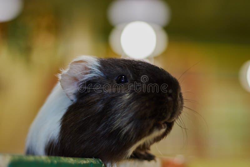 Closeupförsökskaninhuvud Kontaktzoo oskadliga djur djur gyckel royaltyfri foto
