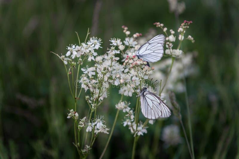Closeupfjärilar på vita små blommor royaltyfri foto