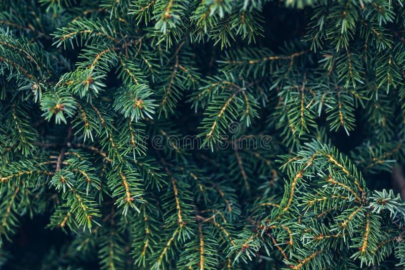 Closeupfotoet av den gröna visaren sörjer trädet på rätsidan av bilden Litet sörja kottar på slutet av filialer arkivbilder