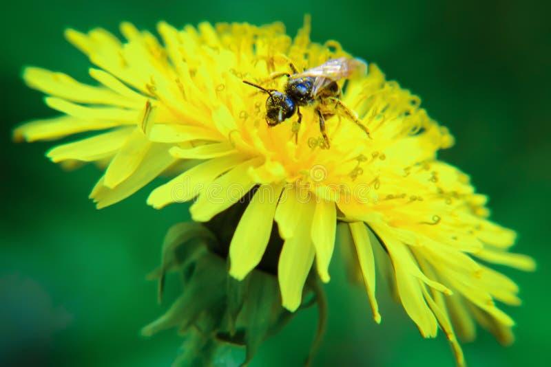 CloseUpgetingen pollinerar på en maskrosblomma på en grön äng mot bakgrund field blåa oklarheter för grön vitt wispy natursky för arkivfoto