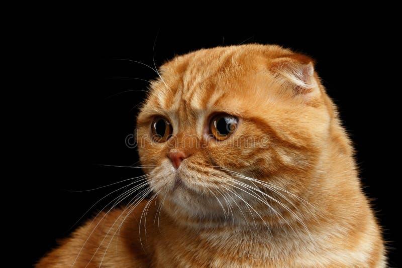 CloseupGinger Scottish Fold Cat Looking baksida som isoleras på svart arkivbilder