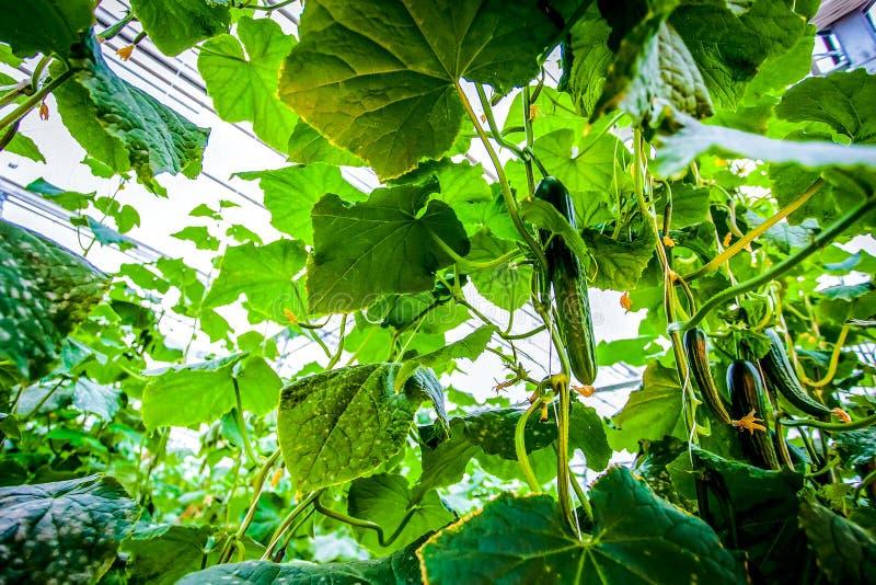 Closeupgurkaväxt som växer upp royaltyfria foton