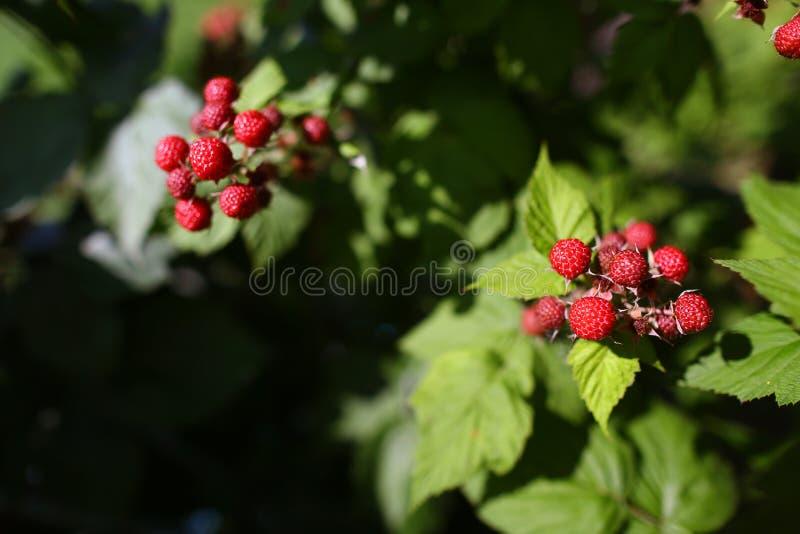 Closeuphallon Växande organiska bär Moget hallon i fruktträdgården grunt djupfält Copyspace royaltyfri fotografi
