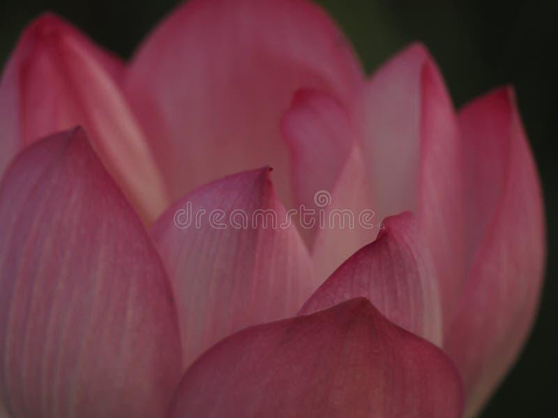 CloseupLotus Pink Flower Petals buktade breda kronblad med en spetsig spets inre till insidan på skorrad bakgrund arkivfoto