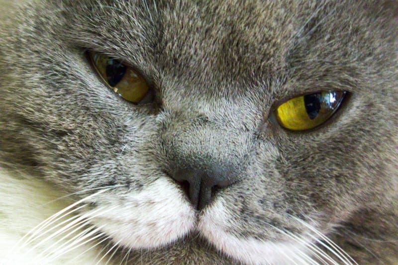 Closeupmakro av den gråa kattframsidan med gröna gula ögon Hem- härligt djurt husdjur royaltyfria bilder