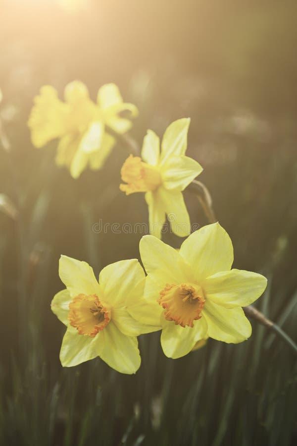 Closeupmakro av den gula påskliljapingstliljan och varmt solljus Bokeh för vår arkivbild