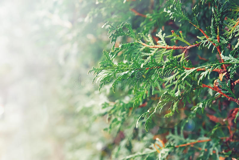 Closeupmakroen av vitt rött cederträ, grönt blad för arborvitae förgrena sig royaltyfria bilder