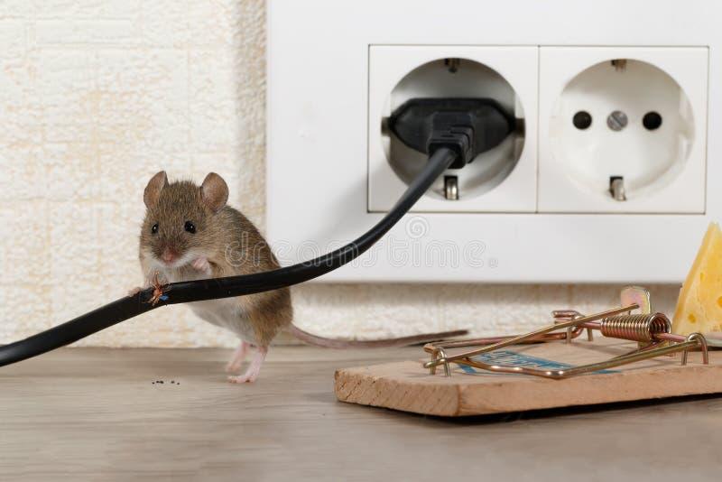 Closeupmusställningar bak tuggad tråd nära råttfällan och elektriskt uttag arkivfoto
