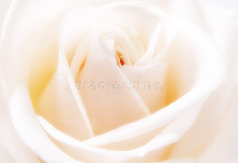 closeuprosewhite royaltyfri bild