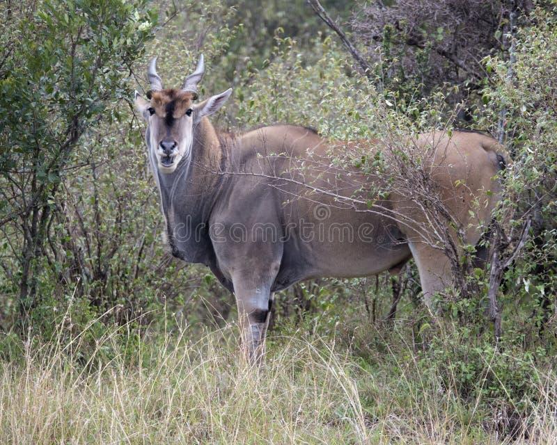 Closeupsideview av ett stort elandanseende i buskar och gräs som ser direkt på dig arkivbild