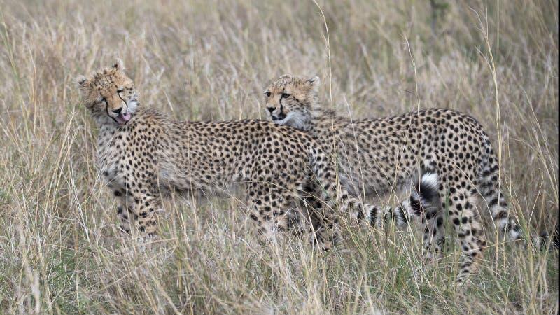 Closeupsideview av gepardanseendet för två barn överlappade i högväxt gräs, med ett som slickar sig på halsen royaltyfri bild