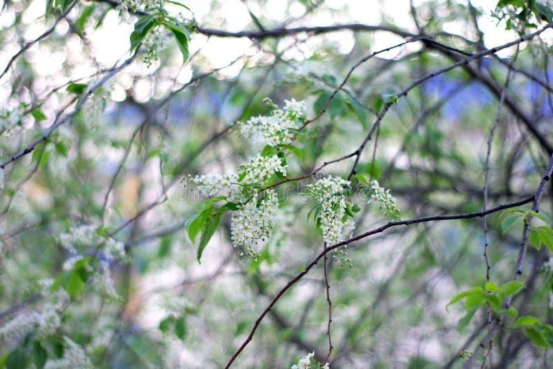 Closeupsikt av att blomma vårträdet på solig dag arkivbilder