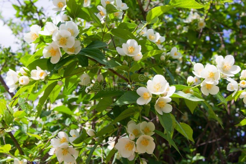 Closeupsikt av de vita blommorna av Philadelphus på buskarna arkivfoto