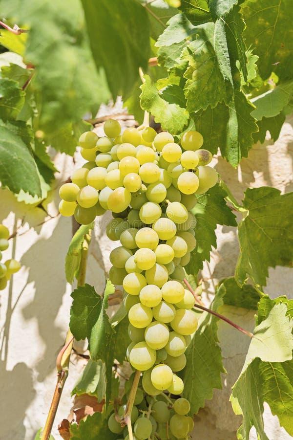 Closeupsikt av den nya gruppen av vita druvor på fält royaltyfria foton