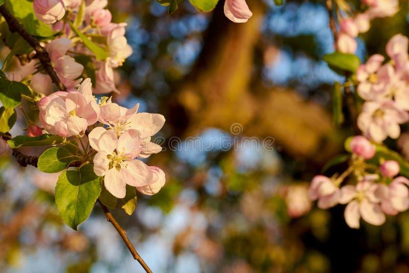 Closeupsikt av det rosa blomningäppleträdet på äng i skog med solsken Vårafton med blå himmel arkivbilder