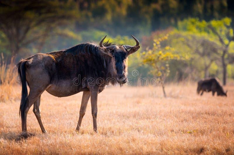 Closeupsikt av en enkel gnu i monokrom swaziland fotografering för bildbyråer