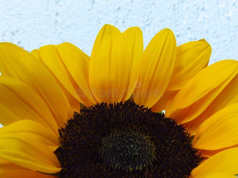 Closeupsikt av solrosor och stamens Sunrich för gul orange sommar högväxta arkivbilder