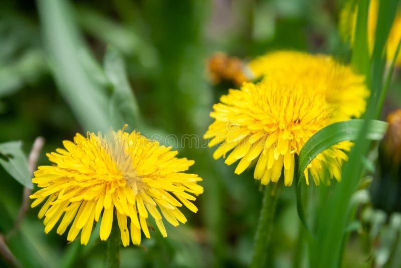 Closeupsikt av två ljusa gula blommande maskrosor som växer bland grönt gräs på en suddig bakgrund royaltyfria bilder