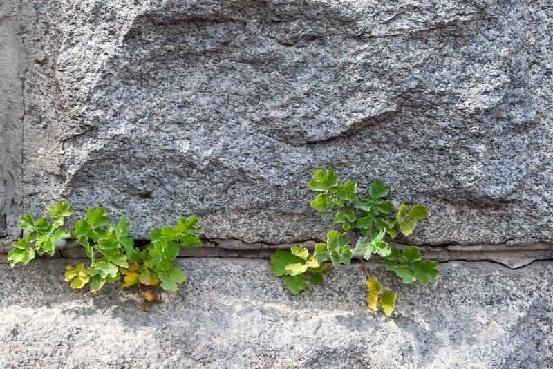 Closeupsikt av väggen av grova granittegelstenar med cementgrout dem emellan Gröna växter gör deras väg till och med cement royaltyfri fotografi