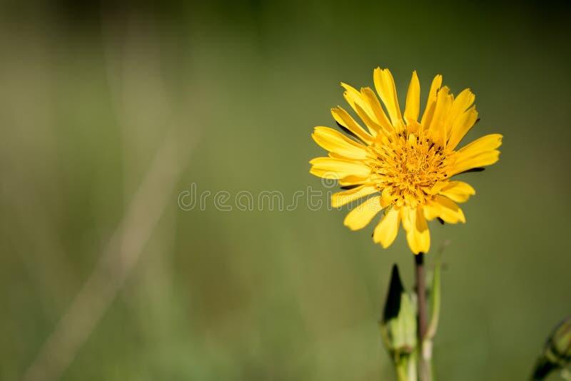 Closeupsikten av blomningen av s-skägget för ängget` tragopogonen snackar royaltyfri fotografi
