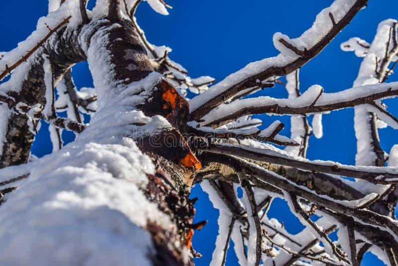 Closeupskott av det härliga trädet som täckas med snö royaltyfria foton