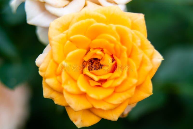 Closeupskott eller makro av ett rikt orange eller ljust - gul ros royaltyfri fotografi