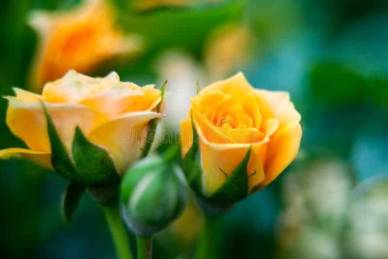 Closeupskott eller makro av ett rikt orange eller ljust - gul ros arkivbilder