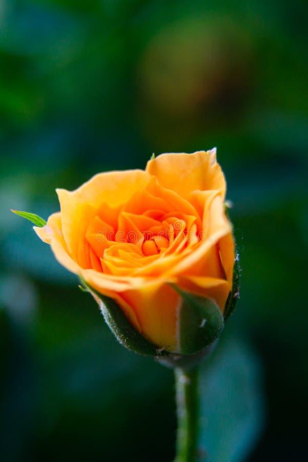 Closeupskott eller makro av ett rikt orange eller ljust - gul ros royaltyfri bild