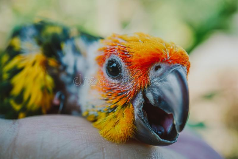 CloseupsolConure fågel arkivfoton