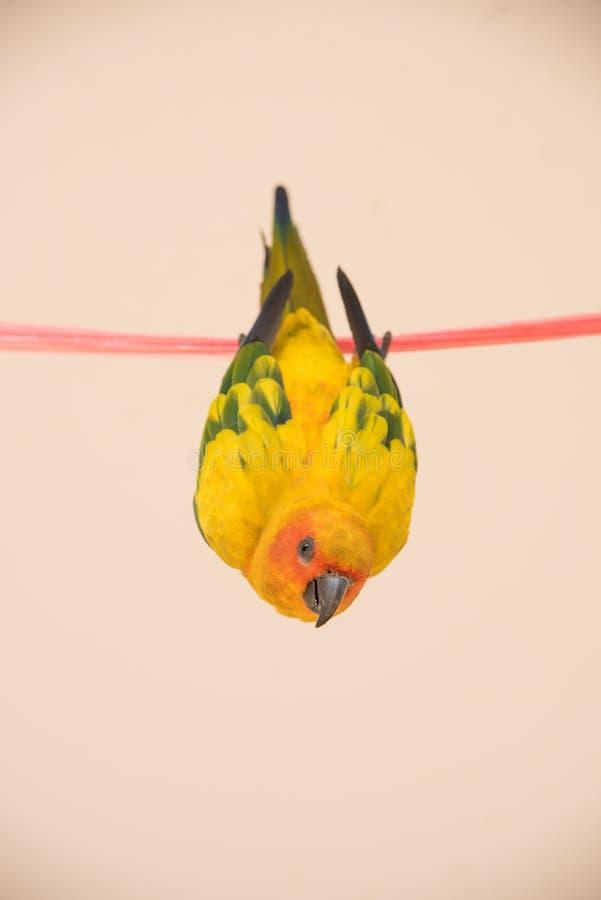 CloseupsolConure fågel, härlig gul papegoja som hänger på arkivfoto