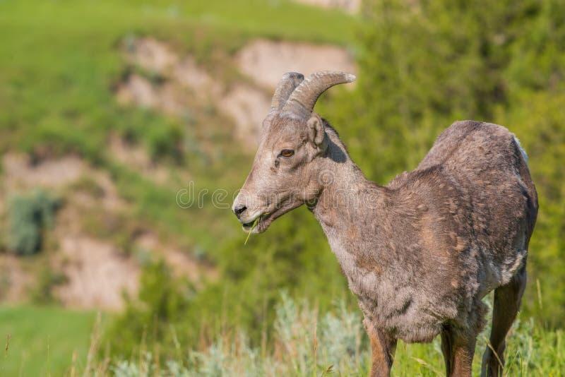 Closeupstående av bighornfår i ett bergigt område av Badlandsnationalparken arkivbild